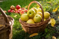 Canestro di vimini con le mele gialle Fotografia Stock Libera da Diritti