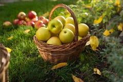 Canestro di vimini con le mele gialle nel giardino Fotografia Stock