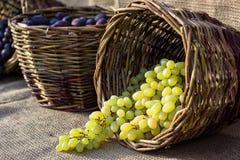 Canestro di vimini del raccolto di autunno dell'uva con l'uva bianca appena raccolta sul fondo della tela da imballaggio immagini stock