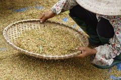 Canestro per il raccolto di riso Fotografia Stock