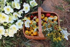 Canestro in pieno dei pomodori gialli e rossi con i fiori e le erbe Fotografie Stock