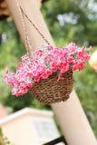 Canestro rosa del fiore che appende per il giardino fotografia stock