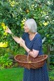 Canestro senior delle mele di raccolto della donna Immagini Stock