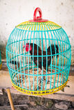 Canestro variopinto del gallo Fotografia Stock