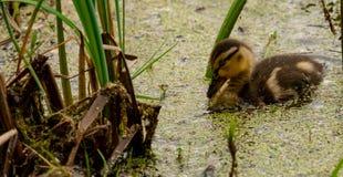 Caneton de canard noir dans un étang photo libre de droits
