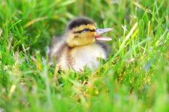 Caneton de Quacking dans l'herbe image stock