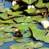 Caneton entre les lillies de l'eau image stock