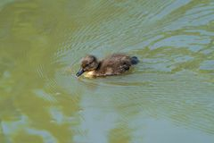 Caneton minuscule de canard de Tuffed - fuligula d'Aythya images libres de droits