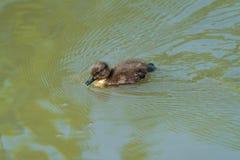 Caneton minuscule de canard de Tuffed - fuligula d'Aythya photographie stock libre de droits