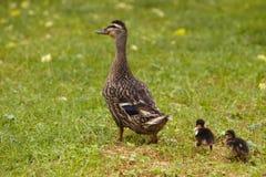 caneton s deux de canard Photo stock
