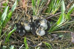 Canetons chinés de canard photographie stock libre de droits