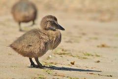 Canetons de canard d'Eider photos stock