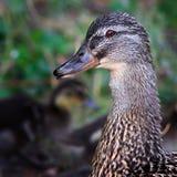 canetons de canard sauvages Photo stock