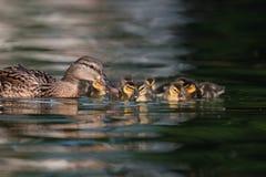 Canetons de Mallard sur le lac Photographie stock