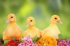 Canetons de Pâques Image libre de droits