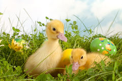 Canetons de Pâques dans l'herbe Photo libre de droits