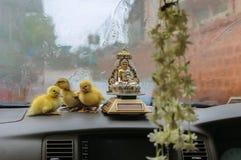 Canetons de Pâques dans la voiture Images stock