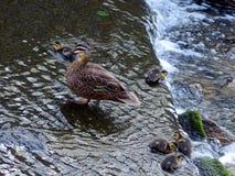 Canetons et canard de mère Image libre de droits