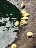 Canetons jaunes Photographie stock