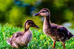 Canetons mignons de canard de bébé Image libre de droits