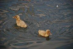 Canetons nageant dans l'étang à la maison Images stock