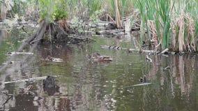 Canetons sauvages avec un bain de canard banque de vidéos