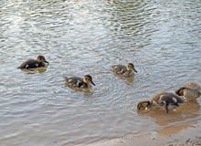 Canetons sur le lac dans l'habitat naturel photo libre de droits