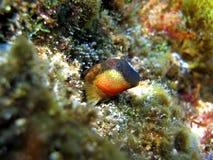 Canevae de Lipophrys Photos libres de droits