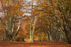 Canfaito beech forest in autumn Stock Photo