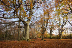 Canfaito beech forest in autumn Stock Images