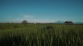 Canggu rice field with Mount Batur volcano in background. Green rice fields with trees, small shed and Mountain Batur volcano silhouette in background. Shot with stock video footage