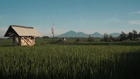 Canggu rice field with Mount Batur volcano in background. Green rice fields with trees, small shed and Mountain Batur volcano silhouette in background. Shot with stock video