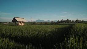 Canggu rice field with Mount Batur volcano in background. Green rice fields with trees, small sheds and Mountain Batur volcano silhouette in background. Shot stock video