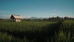 Canggu risfält med den monteringsBatur vulkan i bakgrund stock video