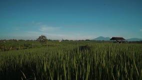 Canggupadieveld met de vulkaan van Onderstelbatur op achtergrond stock videobeelden