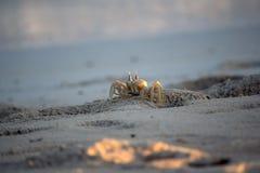 Cangrejo alerta del fantasma en las arenas Foto de archivo