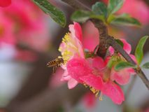 Cangrejo-Apple floreciente chino y las abejas Imagen de archivo