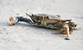 Cangrejo azul atlántico en la playa, Hilton Head Island, Carolina del Sur fotografía de archivo libre de regalías