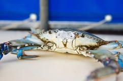 Cangrejo azul con las garras azules Imagen de archivo