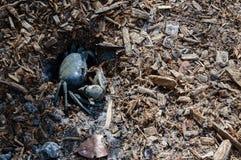 Cangrejo azul de la Florida Fotografía de archivo libre de regalías
