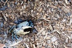 Cangrejo azul de la Florida del sur Foto de archivo