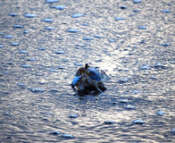 Cangrejo azul en el agua Imagenes de archivo