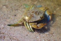Cangrejo azul en el borde del agua Imagenes de archivo