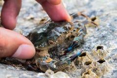 Cangrejo azul en la playa de Samui, cangrejo del mar de caballo Imagen de archivo