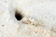 Cangrejo blanco en la arena de la hebra Imagenes de archivo