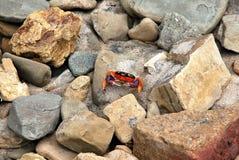 Cangrejo coloreado brillante en Nicaragua Fotos de archivo