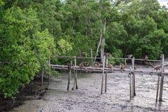 Cangrejo-comiendo los monos de macaque divertidos en el puente de bambú en bosque del mangle Fotografía de archivo