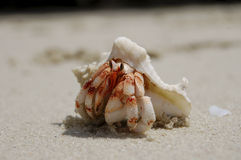 Cangrejo con el shell fotos de archivo libres de regalías
