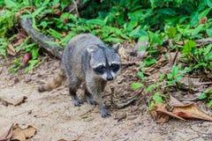 Cangrejo-consumición de cancrivorus del Procyon del mapache en el parque nacional de Cahuita, Costa Ri fotografía de archivo libre de regalías