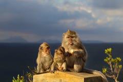 Cangrejo-consumición de fascicularis del Macaca de los Macaques Imagen de archivo